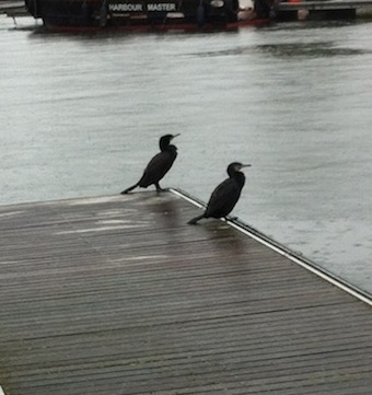 Cormorants_two