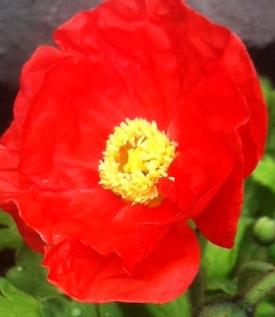 Poppy.2