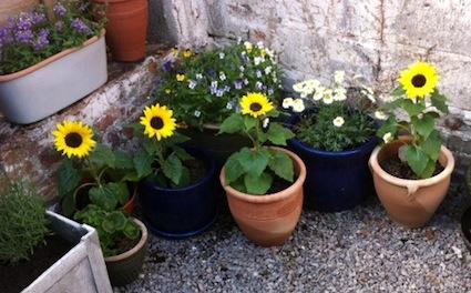 Sunflowers_4_small