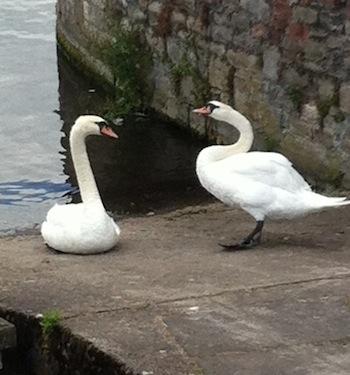 Swans.1