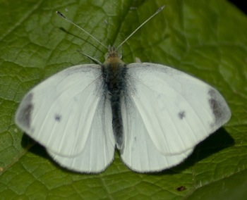 Small White - Male