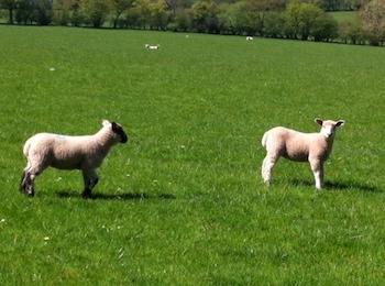 Lambs-gazing