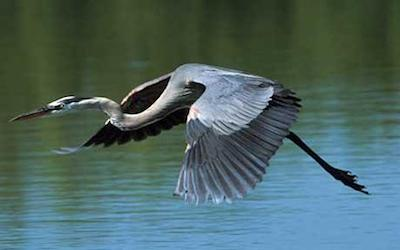 Blue-Heron-via-Telegraph