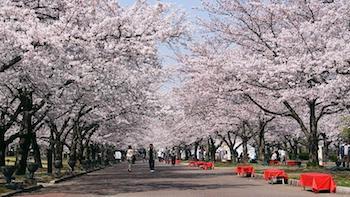 Cherry-Blossom-Japan-Guide