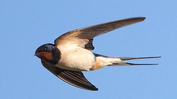 Swallow-BBC